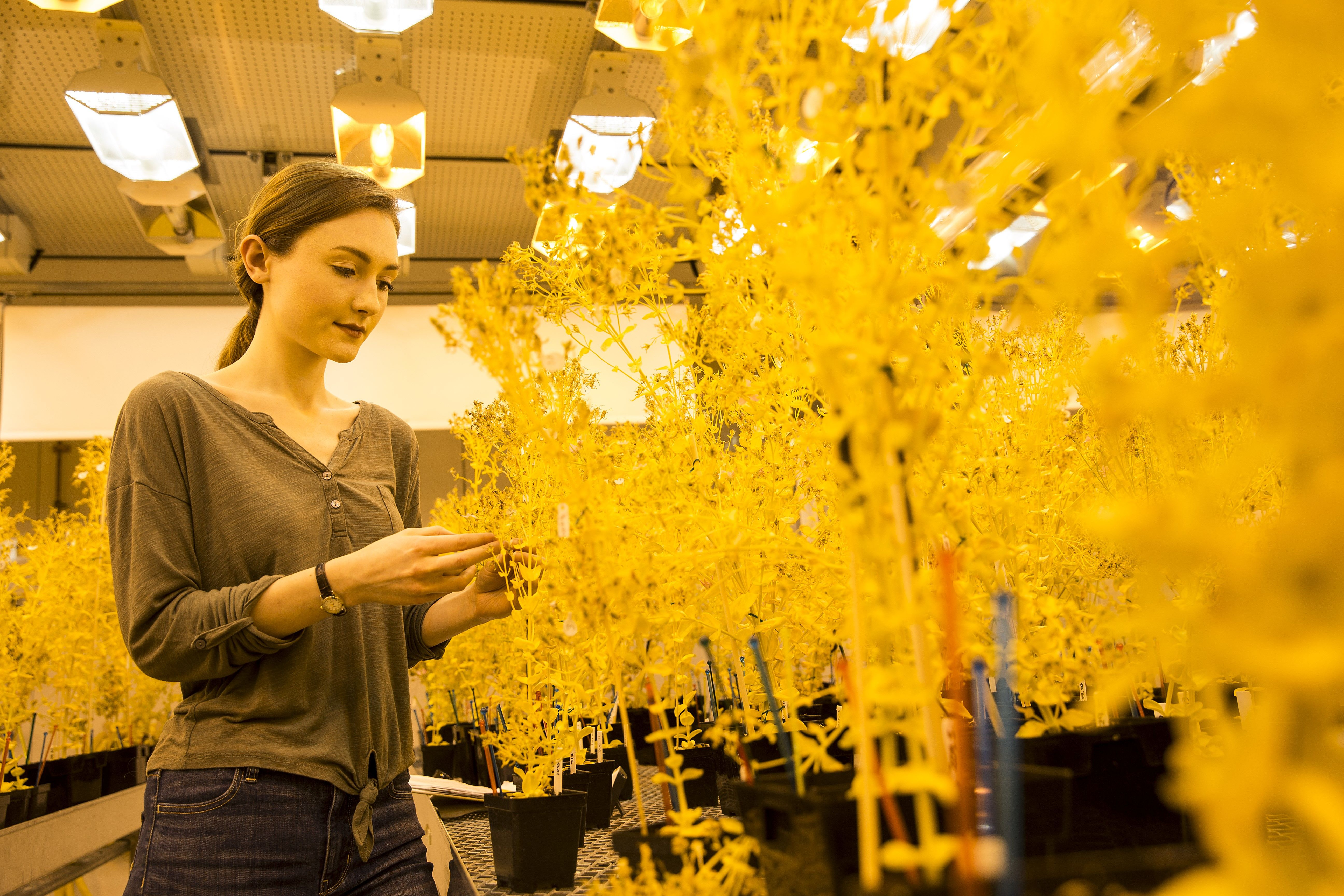 A College of Science and Technology student works with yellow plants in a biology lab.